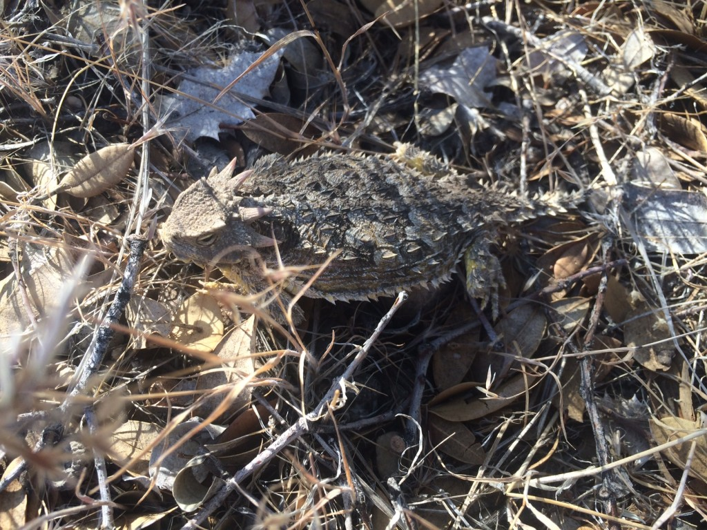 Horned toads - lizards in toad outfits.